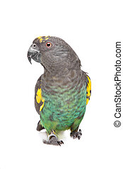 Meyer Parrot in front of a white background