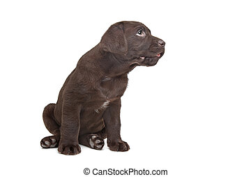 Chocolate Labrador puppy 7 weeks old