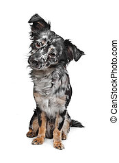Long haired chihuahua - Chihuahua in front of a white...