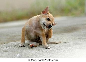 native thai dog