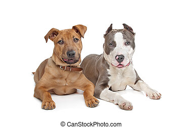 mixed breed stafford and American S