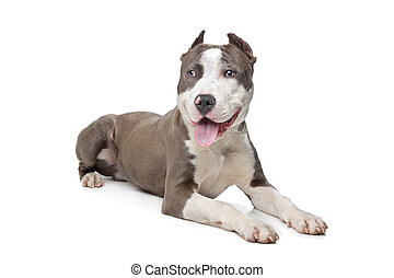 American Stafford with cropped ears