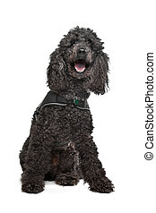 Black Poodle in front of a white background