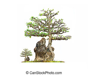 barbados Cherry bonsai tree on stone with white background