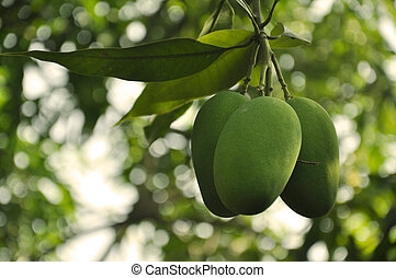 Indian Mangoes - A Bunch of Mangoes growing on a tree in...