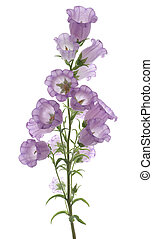 bellflower - Studio Shot of Lilac Colored Bellflower...