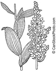 Plant Veratrum album - Two branches of Plant Veratrum album