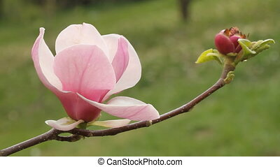 flower of magnolia tree