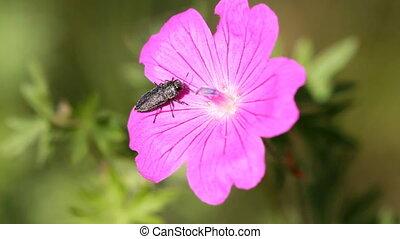 geranium and bug - Red geranium and bug