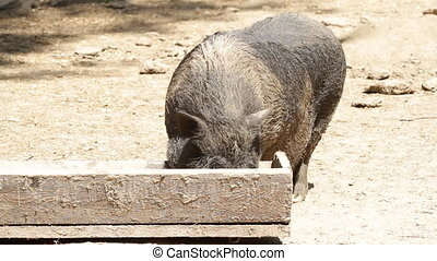 happy piggy wags a tail