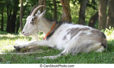 goat on the grass -  goat resting on the grass