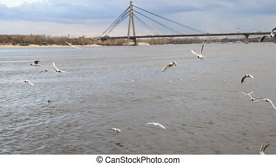 Gulls on by the river Dnepr and Moscow bridge in Kyiv,...