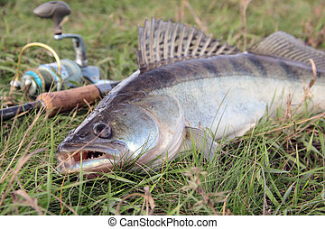 fishing catch - zander - fishing catch on the grass and...