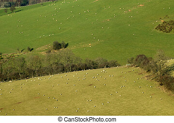 Lots of sheep in fields on the side of a hill in Wales UK.