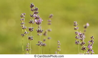 lavenders in a field - flower of lavenders in a field