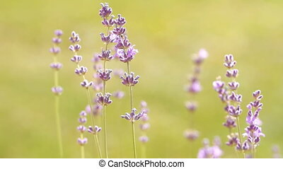 lavenders in a field