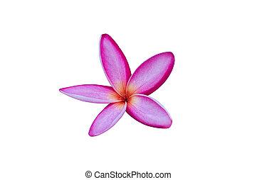 Frangipani plumeria Spa Flower isolated on white