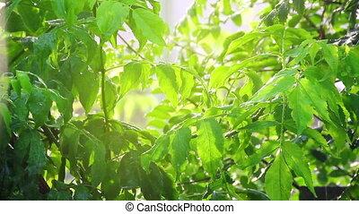 green leaves under rain in sun shine
