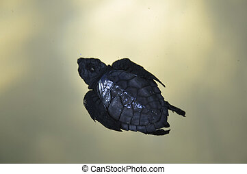Olive ridley turtle hatchling in SL - An olive ridley baby...