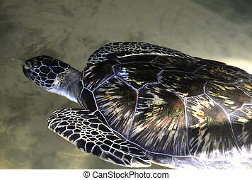 A Green Sea Turtle in Sri Lanka - A Green Sea Turtle at a...