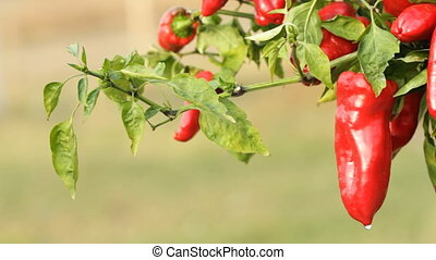 Sweet red pepper - Sweet pepper on a vegetable garden