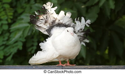 white dove - beautiful white dove