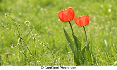 Two Red tulips  -  Red tulips on the green field