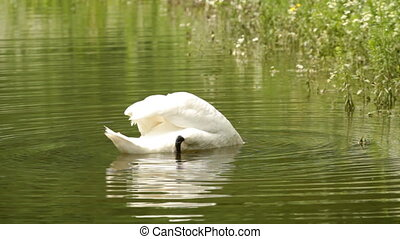 beautiful white swan on the lake