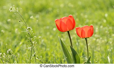 Two Red tulips on the green field