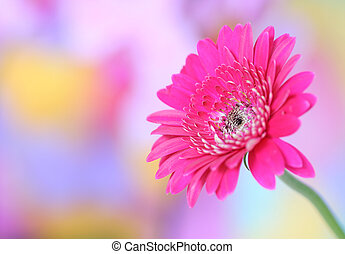 pink gerbera on colorful background - Close-up of pink...