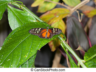 Tiger Longwing Butterfly - This is a photo of a Tiger...