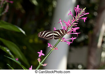 Zebra Longwing Butterfly - This is a photo of a Zebra...