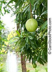 pomelo, owoc, drzewo