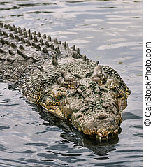 Crocodile in water - A crocodile at Koorana in Central...