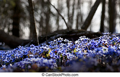 anemone hepatica - Many anemone hepatica in forest in early...