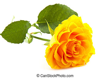 Yellow rose - Lovely yellow rose isolated on a white...