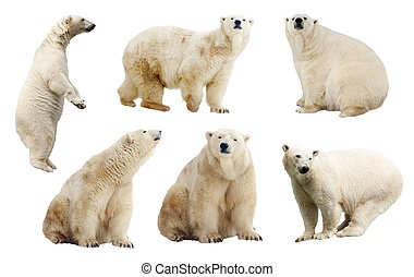 Set of polar bears Isolated over white background