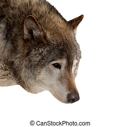 Head of wolf Isolated over white background