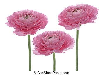 persian buttercup - Studio Shot of Pink Colored Persian...