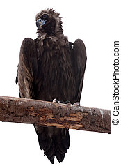 Black vulture. Isolated over white