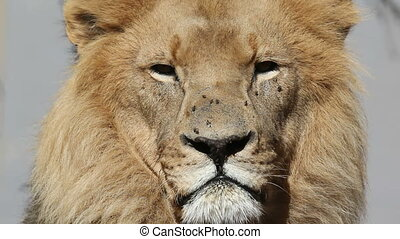 African lion portrait - Portrait of a male lion Panthera leo...