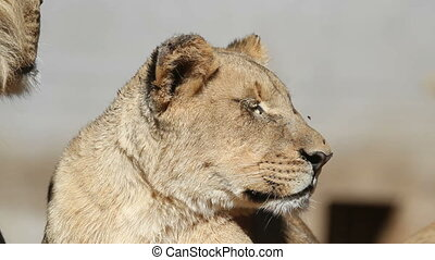 African lion portrait - Portrait of a young lioness Panthera...