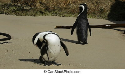 African penguins Spheniscus demersus on the beach, Western...