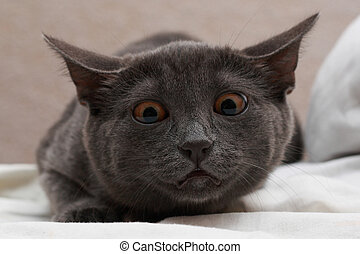 Cat orange eyes - Close-up of short-haired Russian Blue cat...