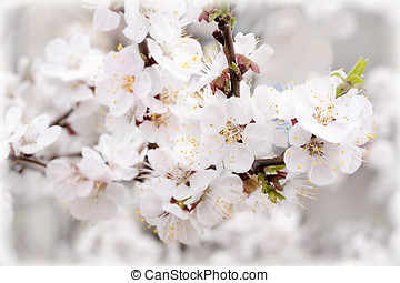 White apricot flowers on the branch