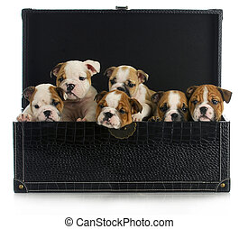 litter of puppies - six english bulldog puppies in a leather...