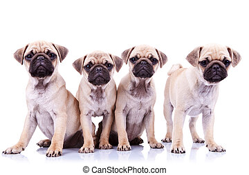 four mops puppy dogs sitting in fron of a white background...