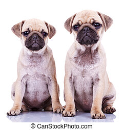 two cute pug puppy dogs