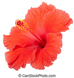 Red hibiscus flower isolated on white, clipping path...