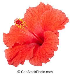 vermelho, Hibisco, flor